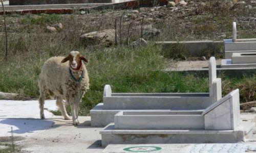 Zdjecie TUNEZJA / - / Mahdia / gość na cmentarzu