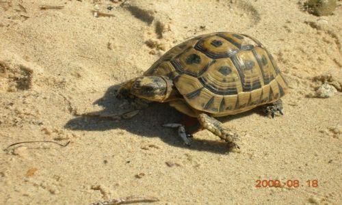 Zdjęcie TUNEZJA / Hammamet / Hammamet / zółw na plażu w Hammamet