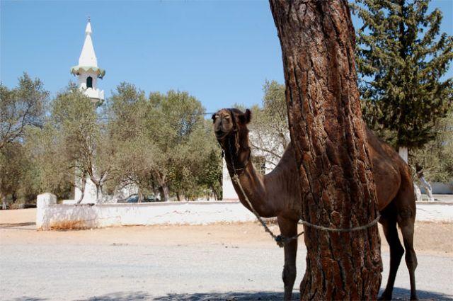 Zdjęcia: wioska turecka niedaleko Bodrum, wielbląd, TURCJA
