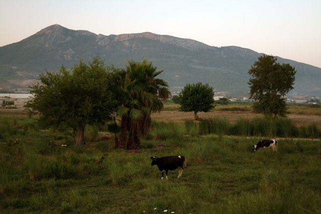 Zdjęcia: okolice Anamuru, Krowy, TURCJA