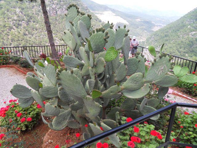 Zdjęcia: W górach, okolice Alani, Tureckie kaktusy, TURCJA