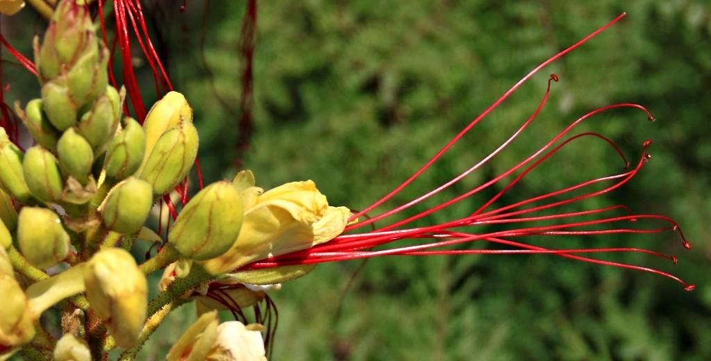 Zdjęcia: Bodrum, Azja mniejsza, Kwiat ..., TURCJA