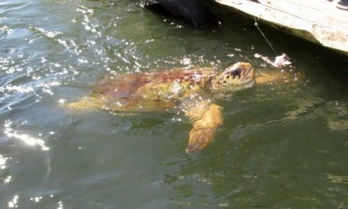 TURCJA / Azja Mniejsza / ujście rzeki Dylan / Karmienie żółwi