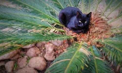 Zdjecie TURCJA / Riwiera Turecka / Belek / kot palmowy