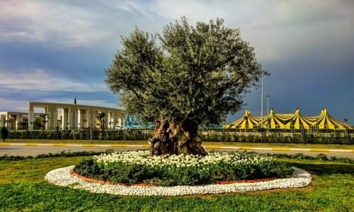 Zdjecie TURCJA / Riwiera Turecka / Kadriye / Baardzo stare drzewo oliwne