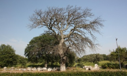 Zdjecie TURCJA / Canakkale / Troja / Drzewo