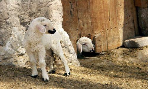 Zdjęcie TURCJA / Kapadocja / kapadocja / Małe owieczki