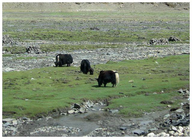 Zdj�cia: jw, Okolice Shigatse, Na zielonych pastwiskach, TYBET