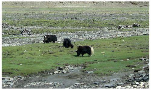 Zdjecie TYBET / Okolice Shigatse / jw / Na zielonych pastwiskach
