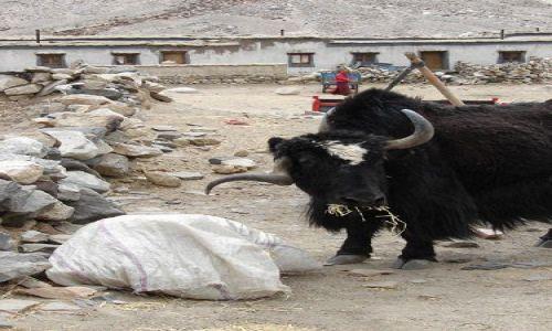 Zdjecie TYBET / Tingri / Rongphu Monastery / yak korkoci�g ;