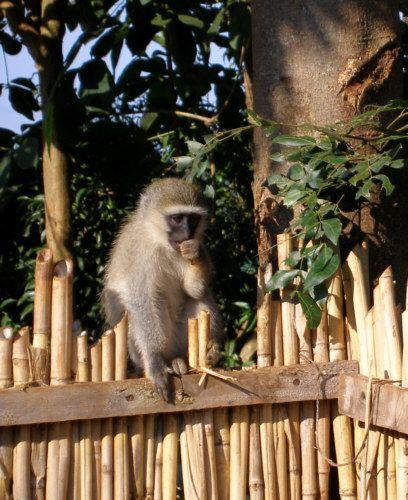 Zdjęcia: Adrift - baza riftingu na Nilu, Kampala, Monkey kibic, UGANDA