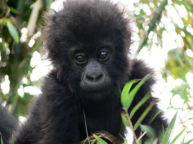 Zdjęcia: Góry Wirunga, Maleństwo, UGANDA