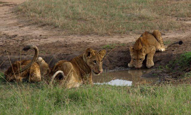 Zdjęcia: Ishasha, Queen Elizabeth National Park, Lwiątka, UGANDA