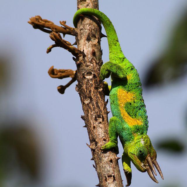 Zdjęcia: Ruhija, Rwenzori Mountain, Three-horned Rwenzori Chameleon, UGANDA