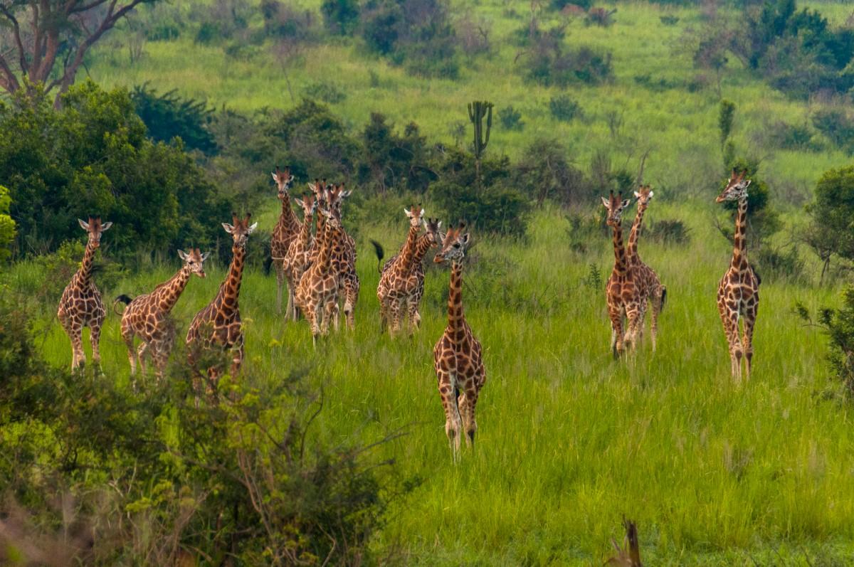 Zdjęcia: Murchison Falls National Park, Masindi, Uganda żyrafami stoi, UGANDA