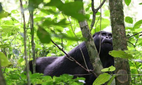 Zdjecie UGANDA / Bwindi / ? / goryl samiec