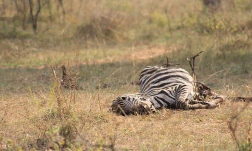 Zdjęcie UGANDA / lake mburo / ? / common zebra