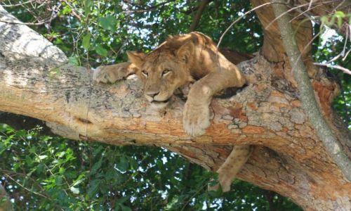 Zdjecie UGANDA / ishasha / ? / climbing lion