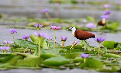 UGANDA / Lake Victoria / Kampala / Długoszpon afrykański