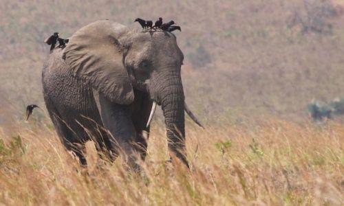 Zdjęcie UGANDA / Murchison Falls NP / Murchison Falls NP / Dla Nitkaski - z samochodu