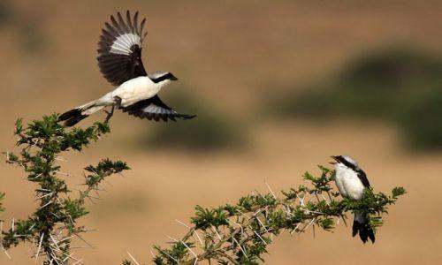 Zdjęcie UGANDA / Queen Elizabeth  / Park Narodowy / Dzierzby afrykańskie