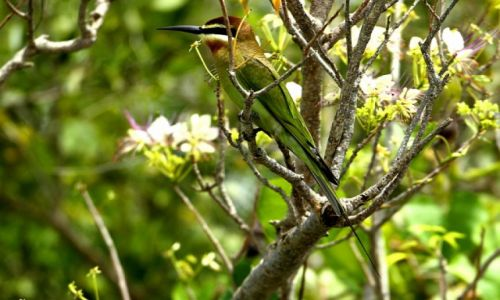 Zdjęcie UGANDA / - / Park Narodowy Murchison Falls / żołna zielona