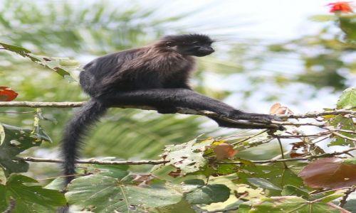 Zdjęcie UGANDA / Kenyoyo / Bigodi Swamp / Mangaba czarna