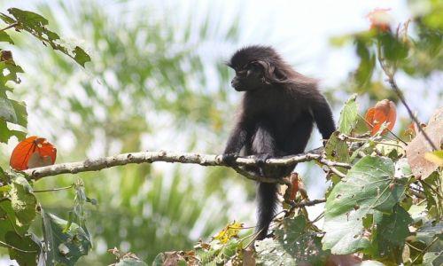 Zdjęcie UGANDA / Kenyoyo / Bigodi Swamp / Rockman - mangaba czarna