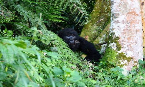 Zdjecie UGANDA / - / Buchoma / Bwindi National Park