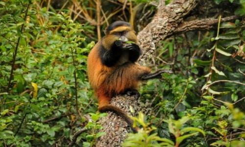 Zdjecie UGANDA / Kisoro / Mgahinga Gorilla National Park / Golden Monkey (koczkodan złoty)