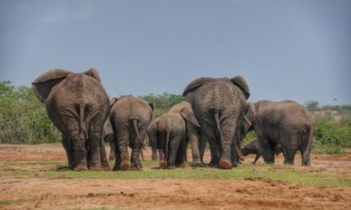 UGANDA / Queen Elizabeth National Park / Kazinga Chanel / Fochy lokalnych celebrytów