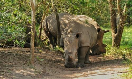 Zdjecie UGANDA / Nakasongola / Ziwa Rhino Sanctuary / Oko w oko z nosorożcem