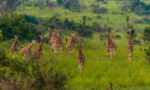 UGANDA / Masindi / Murchison Falls National Park / Uganda żyrafami stoi