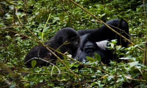 Zdjecie UGANDA / Kisoro / Nieprzenikniony Las Bwindi / Posiłek