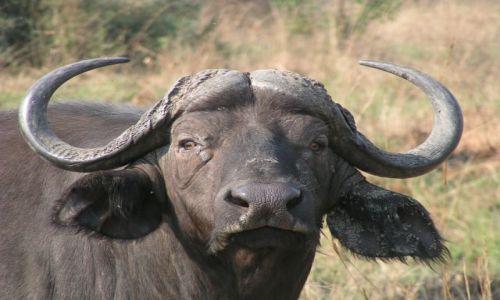 Zdjęcie UGANDA / brak / Murchison Falls / Bawół