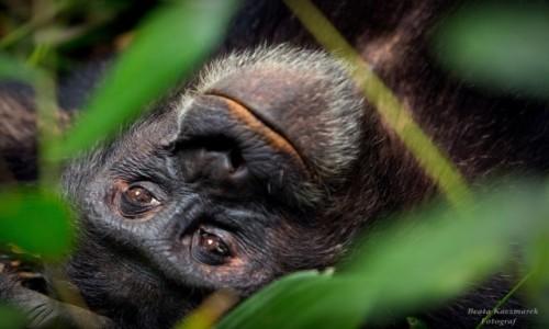 Zdjecie UGANDA / Kibale / Kibale / Szympans z Kibale