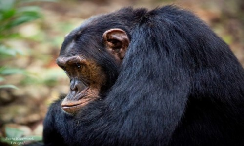Zdjecie UGANDA / Kibale / Kibale / Szympans