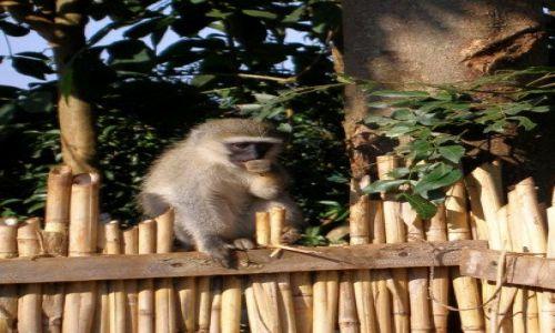 UGANDA / Kampala / Adrift - baza riftingu na Nilu / Monkey kibic