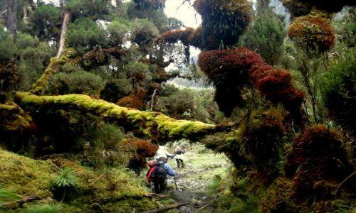 Zdjecie UGANDA / Góry Rwenzori / Treking na Margheritę / Góry Rwenzori 2