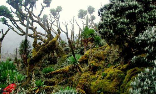 Zdjecie UGANDA / Góry Rwenzori / Treking na Margheritę / Góry Rwenzori 6