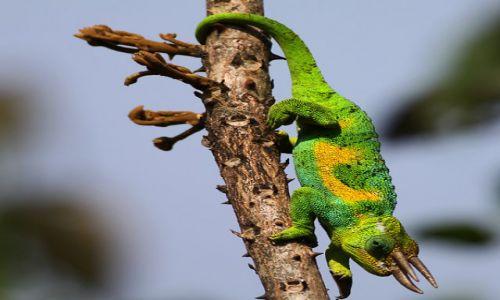 Zdjecie UGANDA / Rwenzori Mountain / Ruhija / Three-horned Rwenzori Chameleon