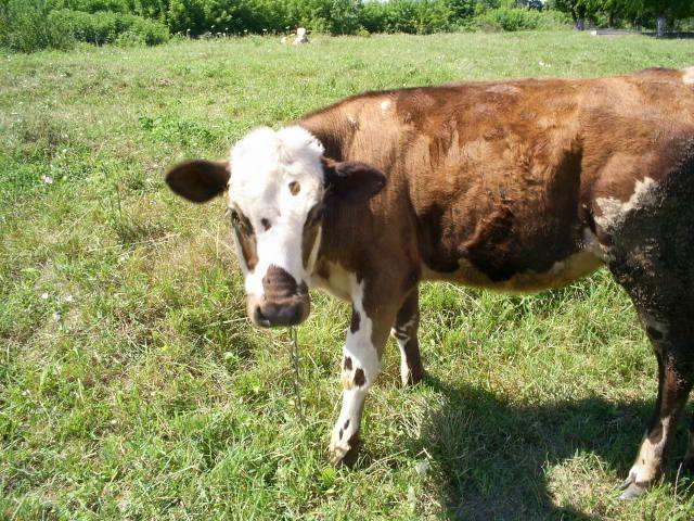 Zdj�cia: �rodkowa Ukraina, podole, czy kto� chce mleka, UKRAINA