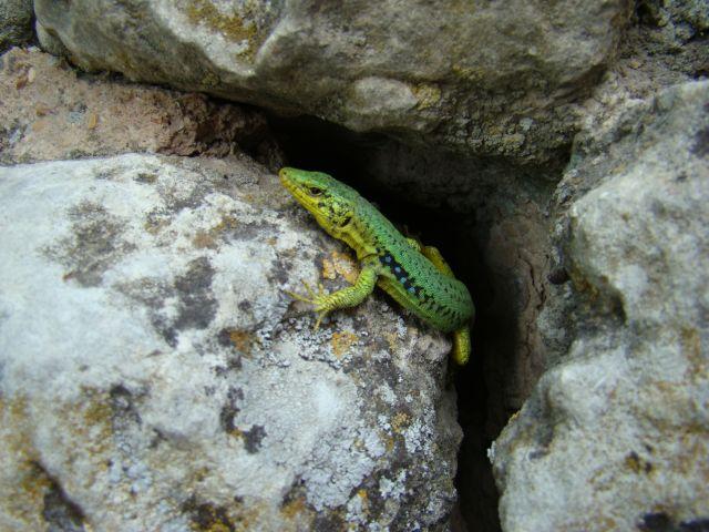 Zdjęcia: Czufut Kale, Półwysep Krymski, jaszczurka, UKRAINA