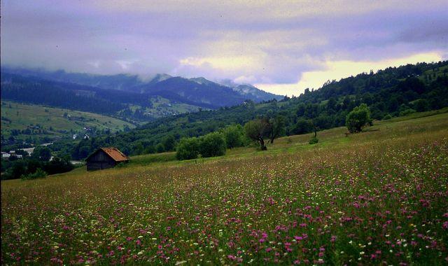 Zdjęcia: Świdowiec , Karpaty Wschodnie, Beskidy Połonińskie, Deszcz kwiatów, UKRAINA