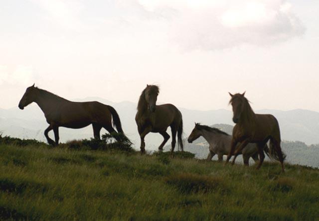 Zdjęcia: Czarnohora, Wolne konie huculskie, UKRAINA