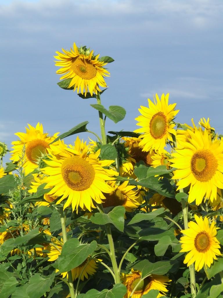 Zdjęcia: trasa Kijów-Krym, słoneczne pola, UKRAINA