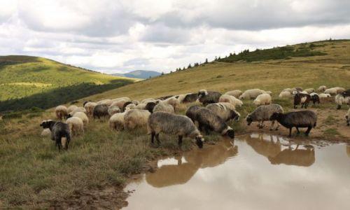 Zdjęcie UKRAINA / Karpaty Wschodnie / Swidowiec / Misów tu nie było...za to owiec nie brakowało :)