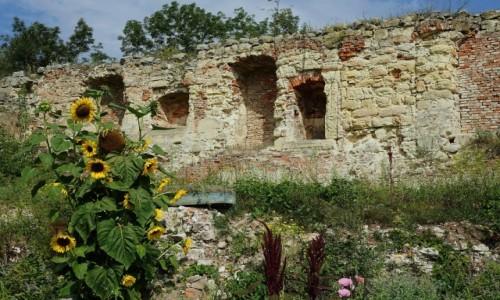 Zdjęcie UKRAINA / Obwód Tarnopolski / Zamek w Brzeżanach / Słoneczniki