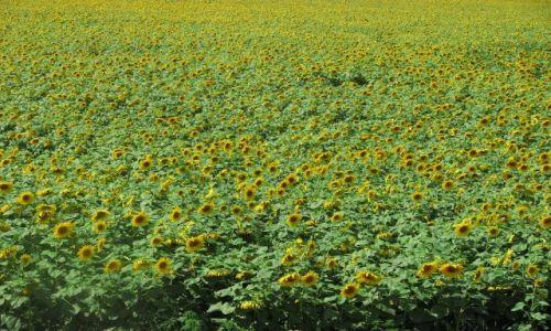 UKRAINA / brak / w drodze do Sewastopola / słonecznikowy zawrót głowy :)