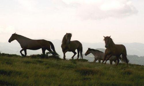 Zdjecie UKRAINA / brak / Czarnohora / Wolne konie huculskie
